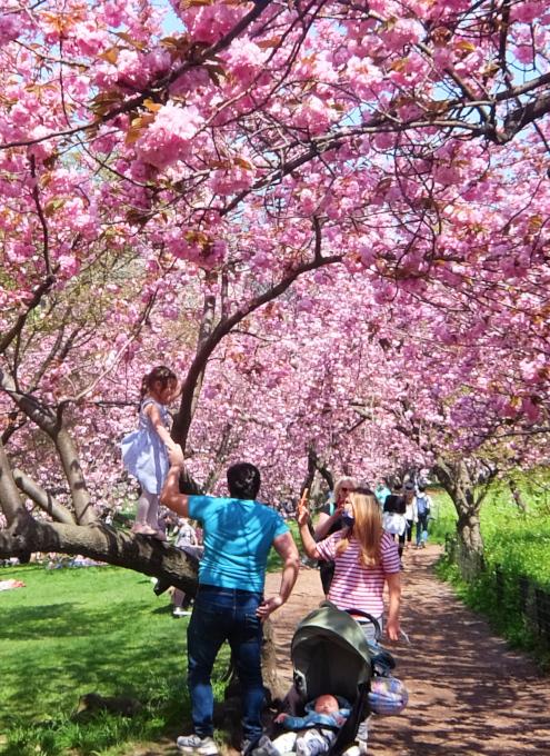 咲き始めました、セントラルパークの桜のトンネル_b0007805_04484454.jpg