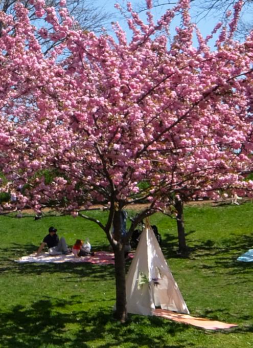 咲き始めました、セントラルパークの桜のトンネル_b0007805_19421954.jpg