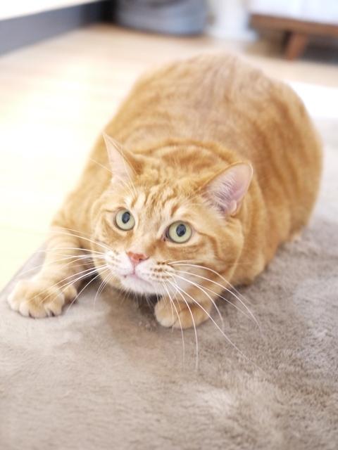 猫のお留守番 きなこくん編。_a0143140_23191780.jpg