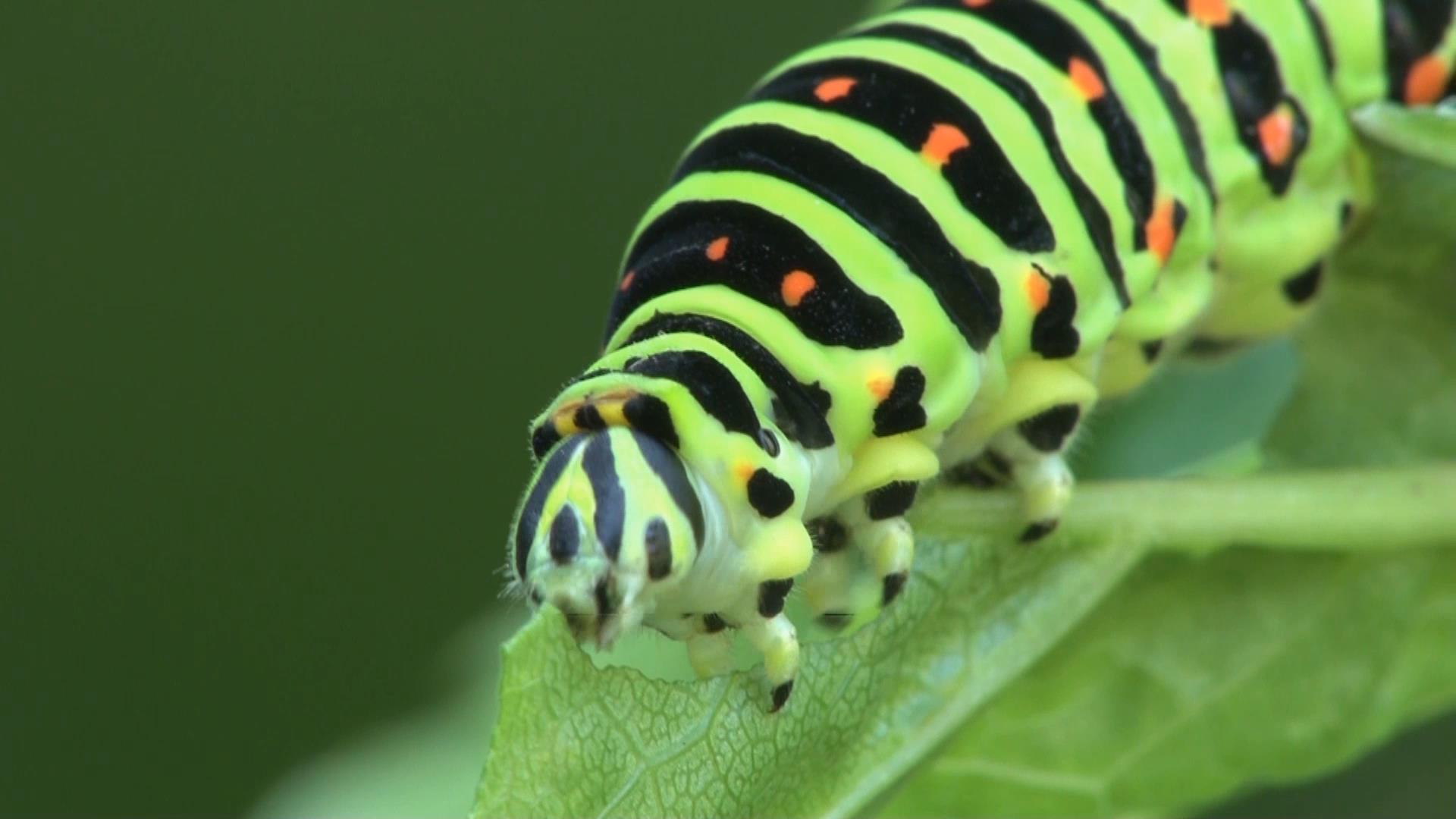 キアゲハ幼虫の食事_e0039759_00333481.jpg