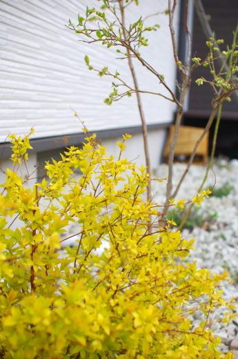 黄金シモツケの葉っぱ_c0110869_12423039.jpg