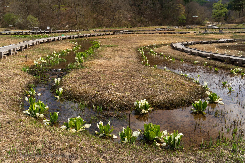 遅い湿原の春_e0214470_09430428.jpg