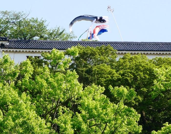 和歌山城の鯉のぼりと西の丸の白爪草  2021-04-30 00:00_b0093754_22440372.jpg