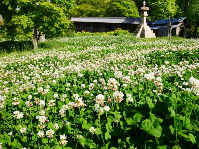 和歌山城の鯉のぼりと西の丸の白爪草  2021-04-30 00:00_b0093754_22441495.jpg