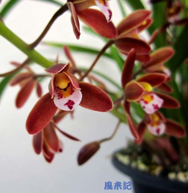 中国春蘭・朱紅花          No.2094_d0103457_00075747.jpg