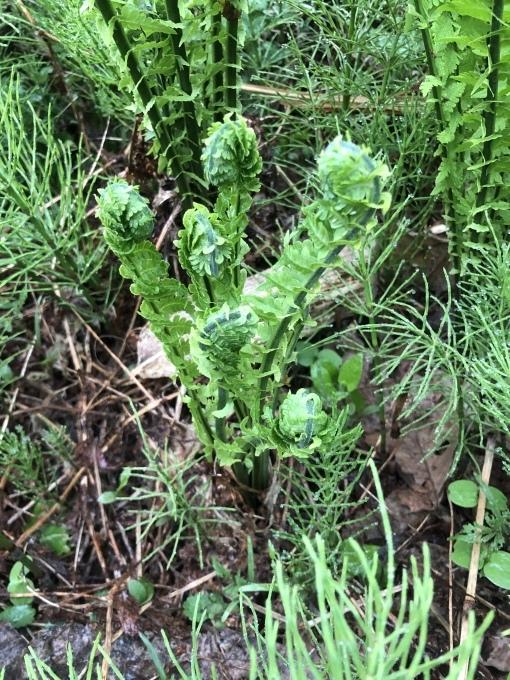 新緑と山菜の季節_d0182179_18050929.jpeg