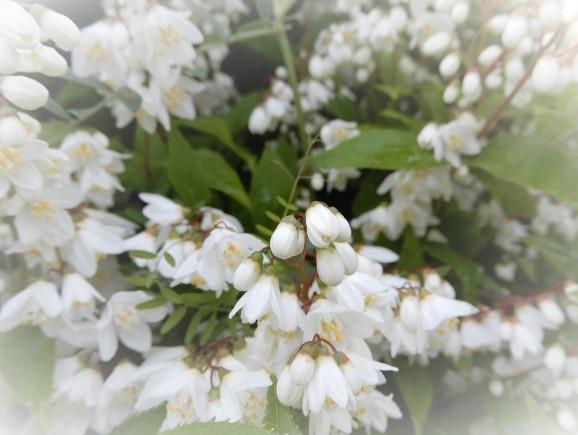 卯の花(deutzia/bean curd)_c0345705_21164940.jpg
