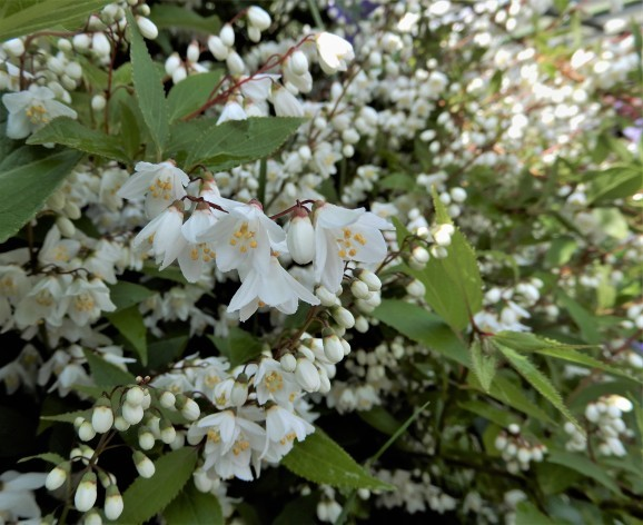 卯の花(deutzia/bean curd)_c0345705_21205452.jpg
