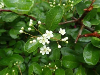小さな白い花 ートキワサンザシー_b0049307_13475223.jpg