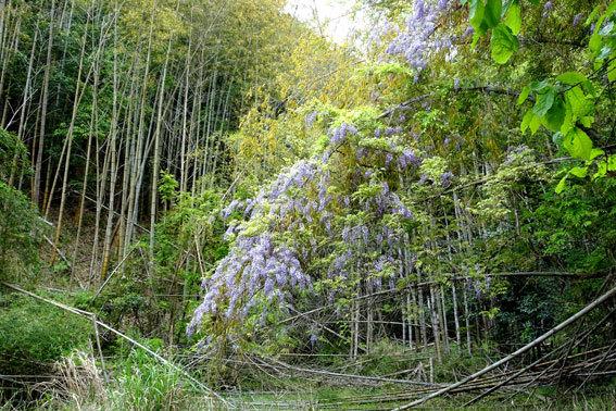 竹藪とフジの花_b0145296_07465838.jpg