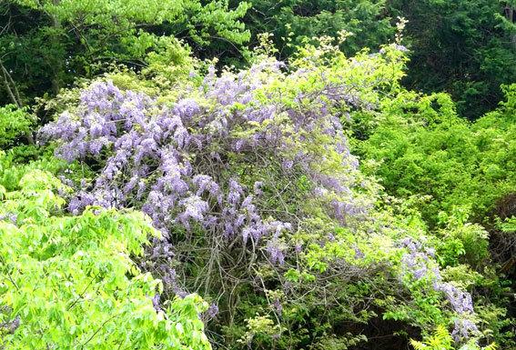竹藪とフジの花_b0145296_07470371.jpg