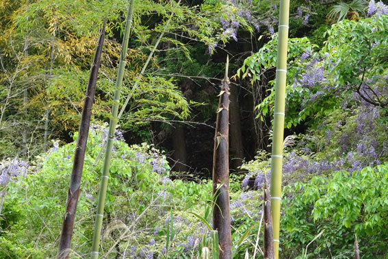 竹藪とフジの花_b0145296_07470634.jpg