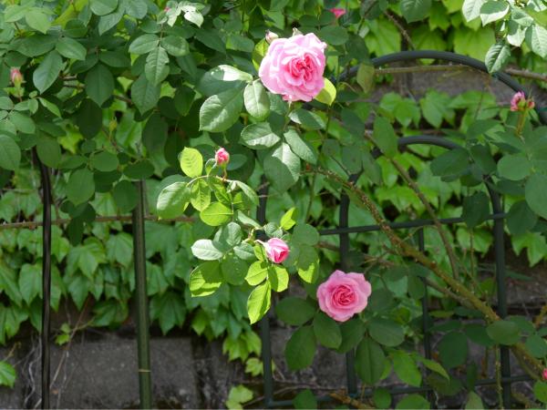 待ちに待った薔薇の季節_f0335306_16400063.jpg