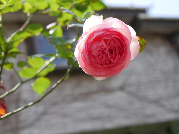 待ちに待った薔薇の季節_f0335306_16401938.jpg
