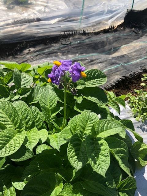 今朝は 蔓あり隠元 オクラ 蕪 からし菜 の播種でした。_c0222448_13431011.jpg