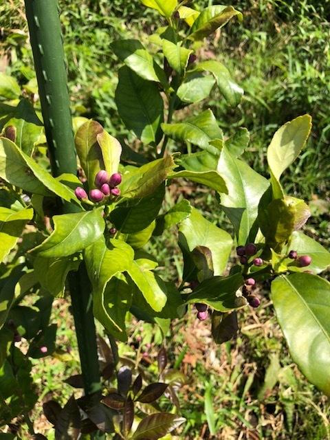 今朝は 蔓あり隠元 オクラ 蕪 からし菜 の播種でした。_c0222448_13434897.jpg