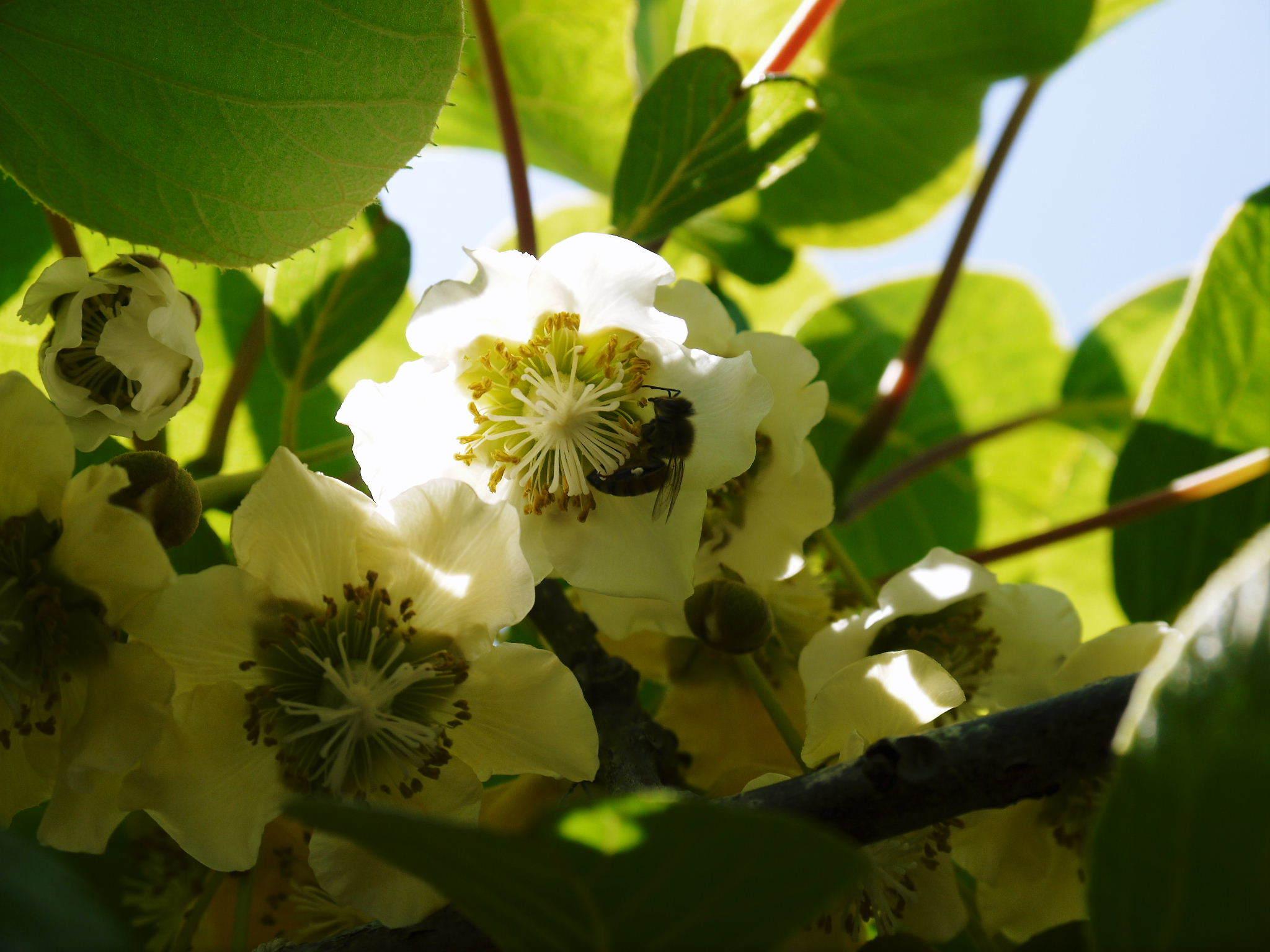 水源キウイ 2021年の開花!例年より10日以上も早い開花でした!(後編:雄花と雌花&交配のお話し) _a0254656_17150512.jpg