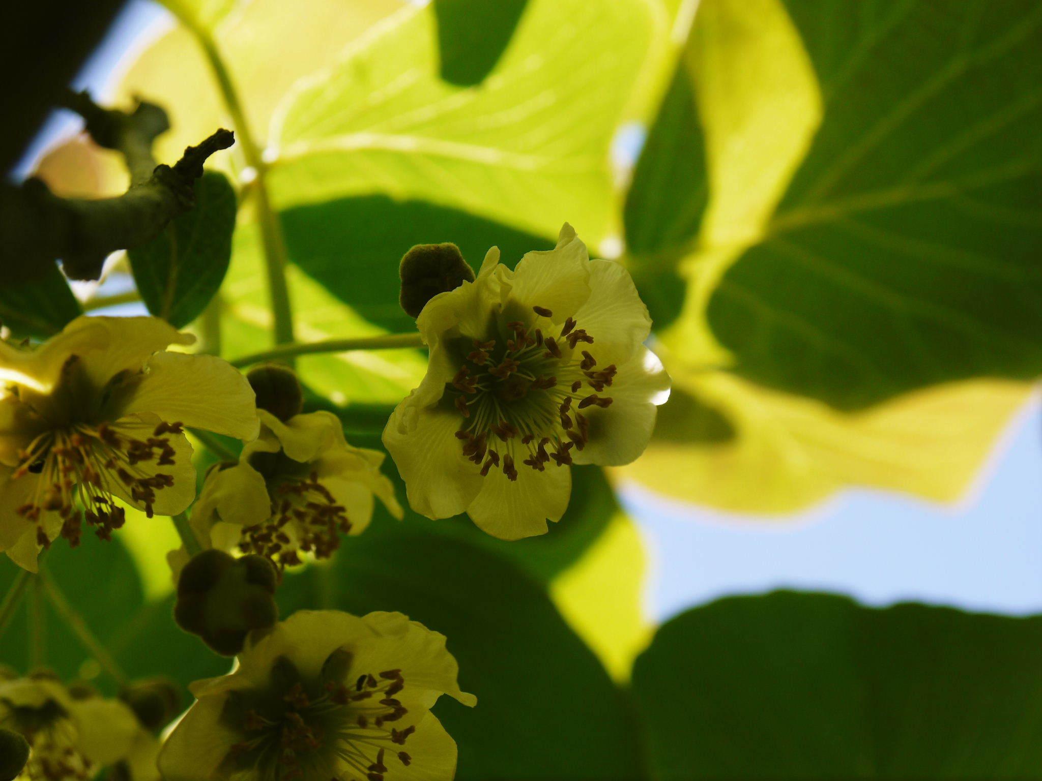 水源キウイ 2021年の開花!例年より10日以上も早い開花でした!(後編:雄花と雌花&交配のお話し) _a0254656_17525756.jpg