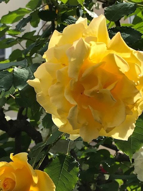 五月の薔薇_a0399157_13170239.jpg