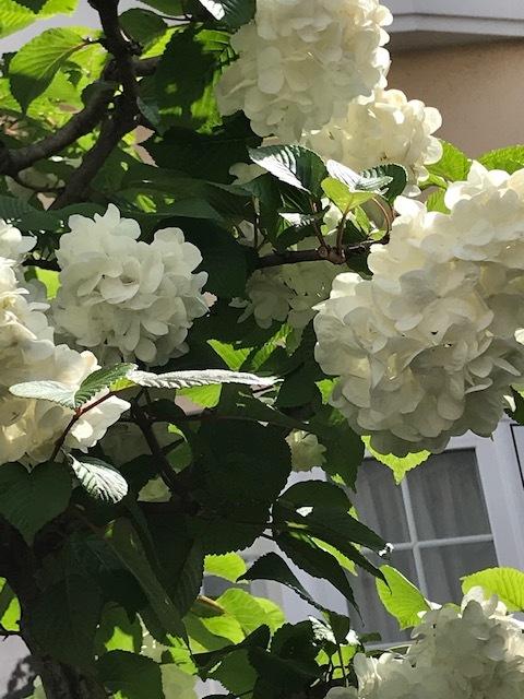 五月の薔薇_a0399157_13172321.jpg