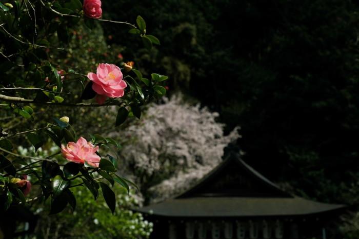 京都 桜 2021_f0021869_21152360.jpg