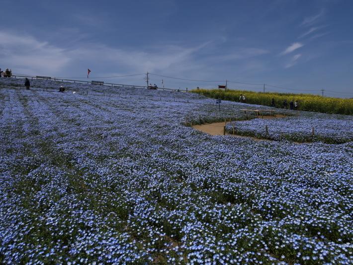 鼻高展望花の丘(2) ~ネモフィラ~ (2021/4/27撮影)_b0369971_18415753.jpg