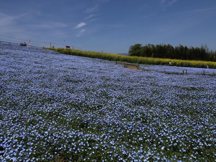 鼻高展望花の丘(2) ~ネモフィラ~ (2021/4/27撮影)_b0369971_18421453.jpg
