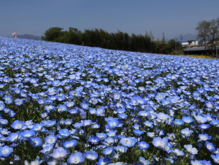 鼻高展望花の丘(2) ~ネモフィラ~ (2021/4/27撮影)_b0369971_18422956.jpg