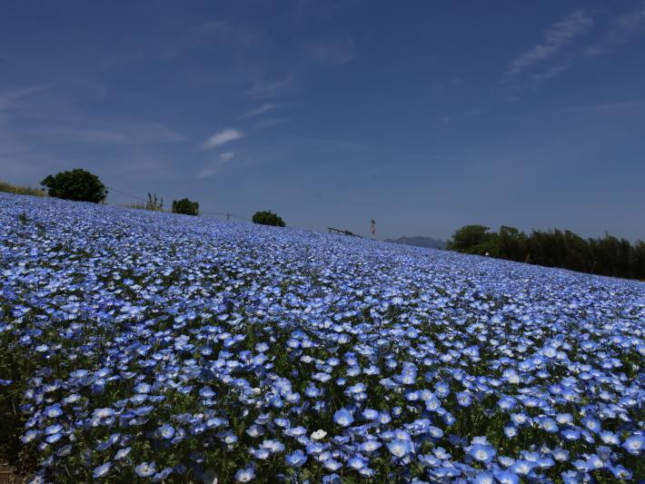 鼻高展望花の丘(2) ~ネモフィラ~ (2021/4/27撮影)_b0369971_18425343.jpg
