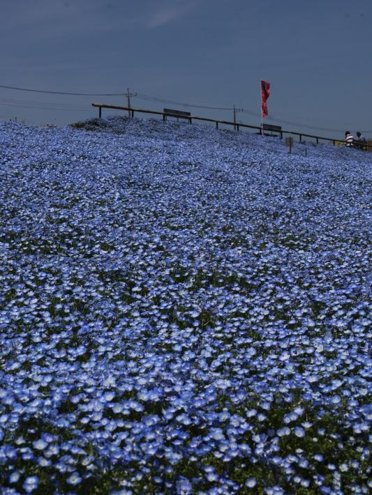 鼻高展望花の丘(2) ~ネモフィラ~ (2021/4/27撮影)_b0369971_18430557.jpg