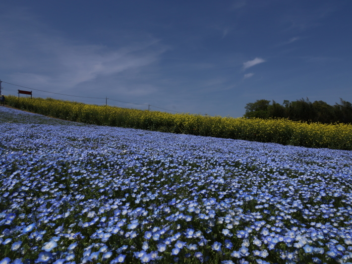 鼻高展望花の丘(2) ~ネモフィラ~ (2021/4/27撮影)_b0369971_18431752.jpg