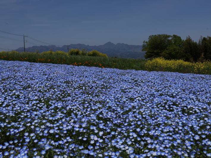鼻高展望花の丘(2) ~ネモフィラ~ (2021/4/27撮影)_b0369971_18435522.jpg