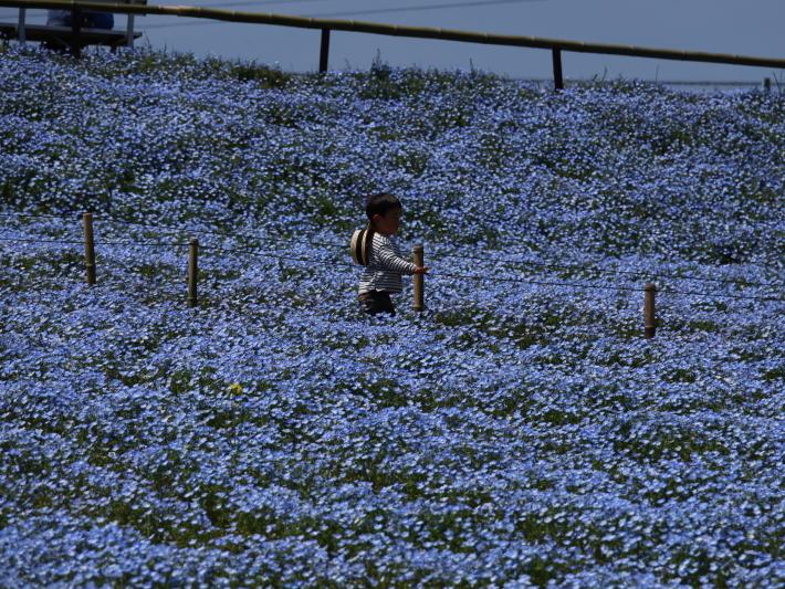 鼻高展望花の丘(2) ~ネモフィラ~ (2021/4/27撮影)_b0369971_18524203.jpg