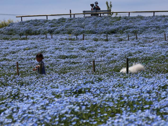 鼻高展望花の丘(2) ~ネモフィラ~ (2021/4/27撮影)_b0369971_18525310.jpg
