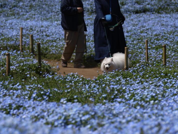 鼻高展望花の丘(2) ~ネモフィラ~ (2021/4/27撮影)_b0369971_18532370.jpg