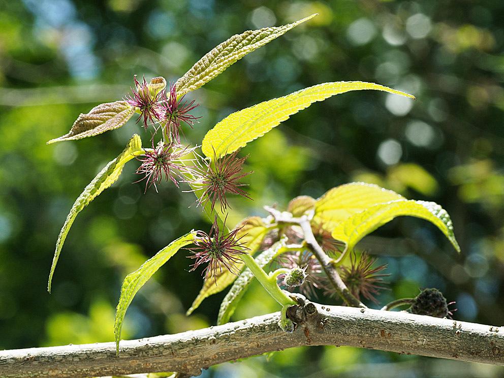 雄花と雌花とその間(1) ヒメコウゾ_d0163696_22224652.jpg