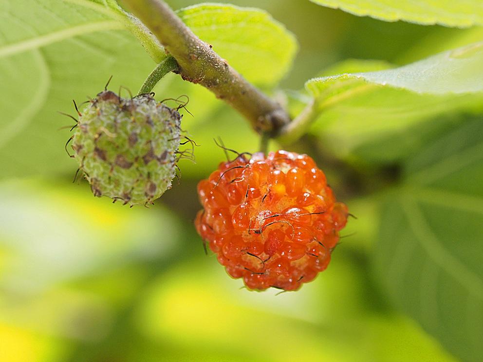 雄花と雌花とその間(1) ヒメコウゾ_d0163696_22231287.jpg