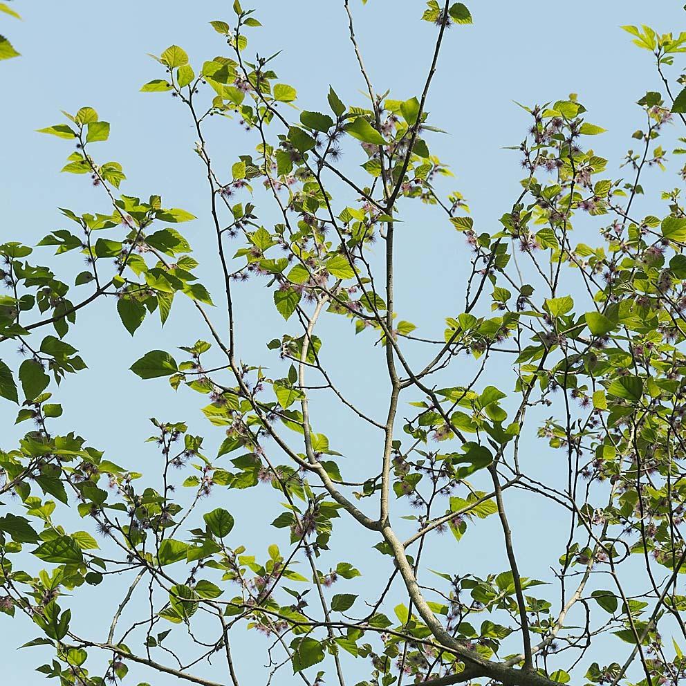 雄花と雌花とその間(1) ヒメコウゾ_d0163696_22320531.jpg