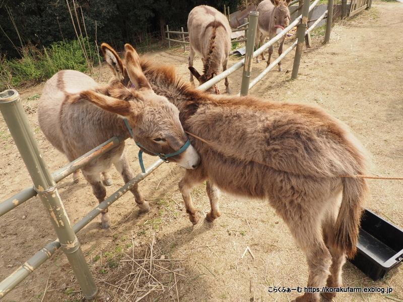 尾道のロバ牧場再訪(2021/3) ~その3 ジロちゃん同居の練習_c0188824_15265310.jpg