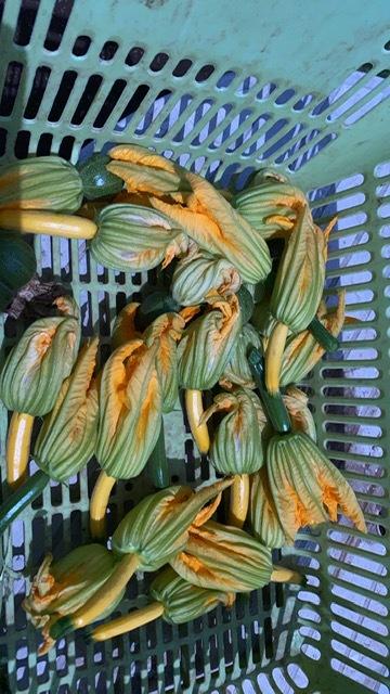 今日からゴールデンウィーク アルコールは終日出せませんが ズッキーニの花 イタリア生蚕豆豆 日本蚕豆 グリンピース スナップエンドウ豆 沢山収穫 ジョイアの料理菜沢山登場します お楽しみに!_c0222448_11094396.jpg