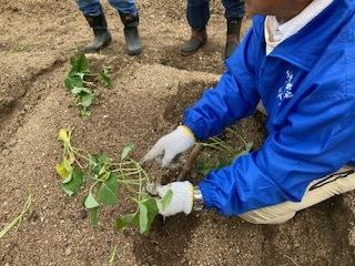《おやこ楽農くらぶの皆さんへ》サツマイモの苗の植えつけ、完了です!_f0079749_16481839.jpg