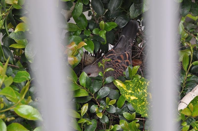 山鳩(キジバト)の巣作り始まる_c0059854_13211360.jpg