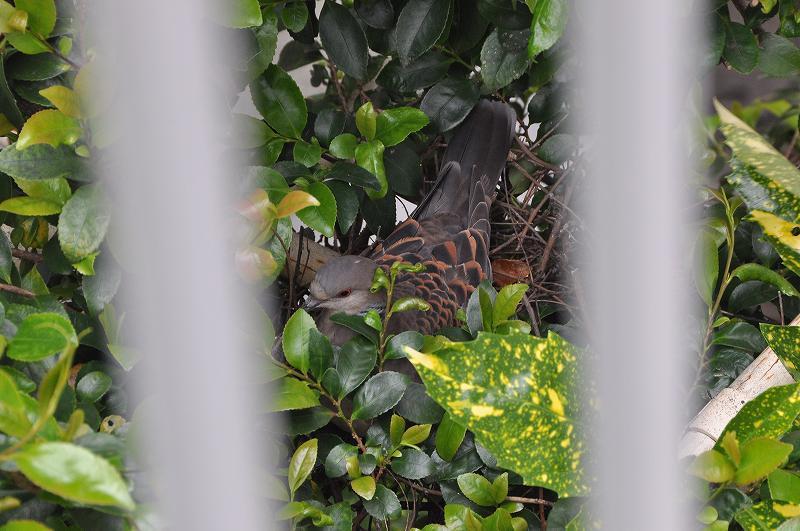 山鳩(キジバト)の巣作り始まる_c0059854_13212887.jpg