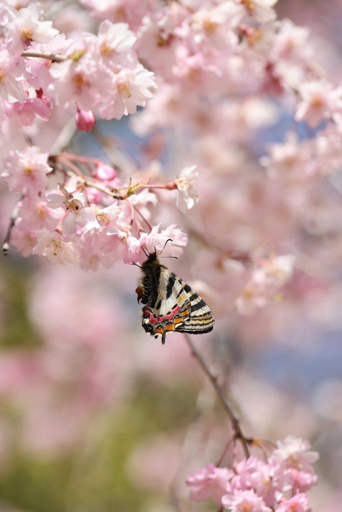 桜に集まるヒメギフチョウほか_e0224357_23035385.jpg