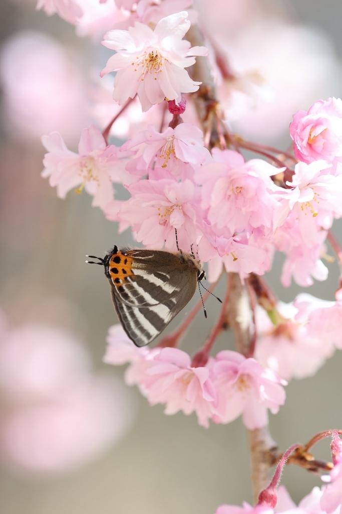 桜に集まるヒメギフチョウほか_e0224357_23053515.jpg