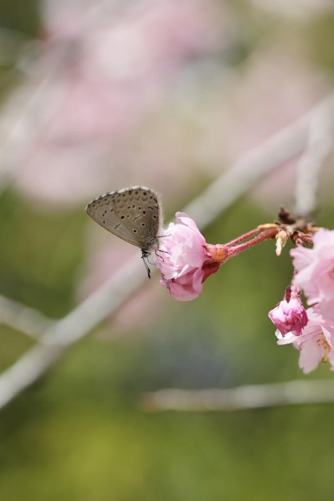 桜に集まるヒメギフチョウほか_e0224357_23064801.jpg