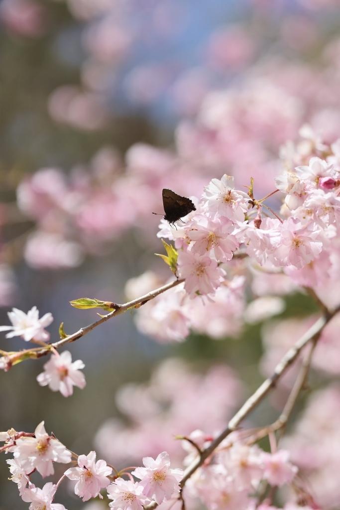 桜に集まるヒメギフチョウほか_e0224357_23075729.jpg