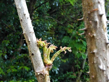 タラの木、別名「ヨメタタキ」_e0175370_08510907.jpg