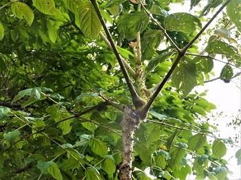 タラの木、別名「ヨメタタキ」_e0175370_08512616.jpg