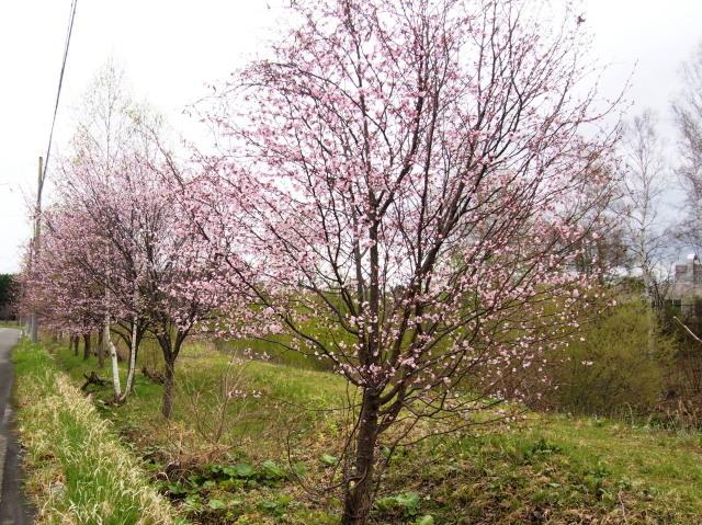 花見は近間で_c0360399_22271163.jpg